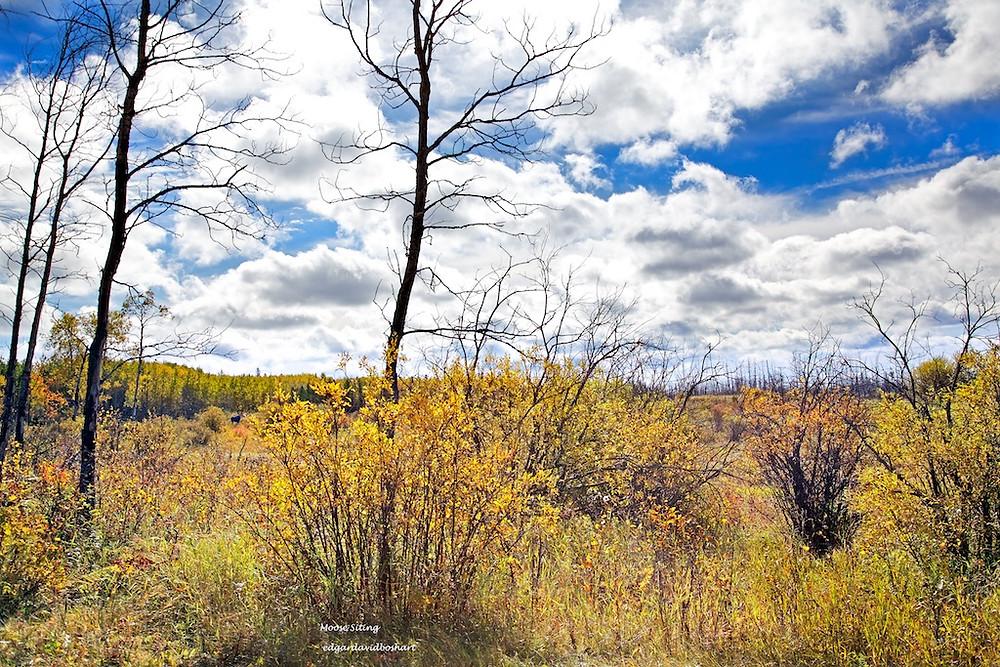 Moose Siting in the Bush Meadow
