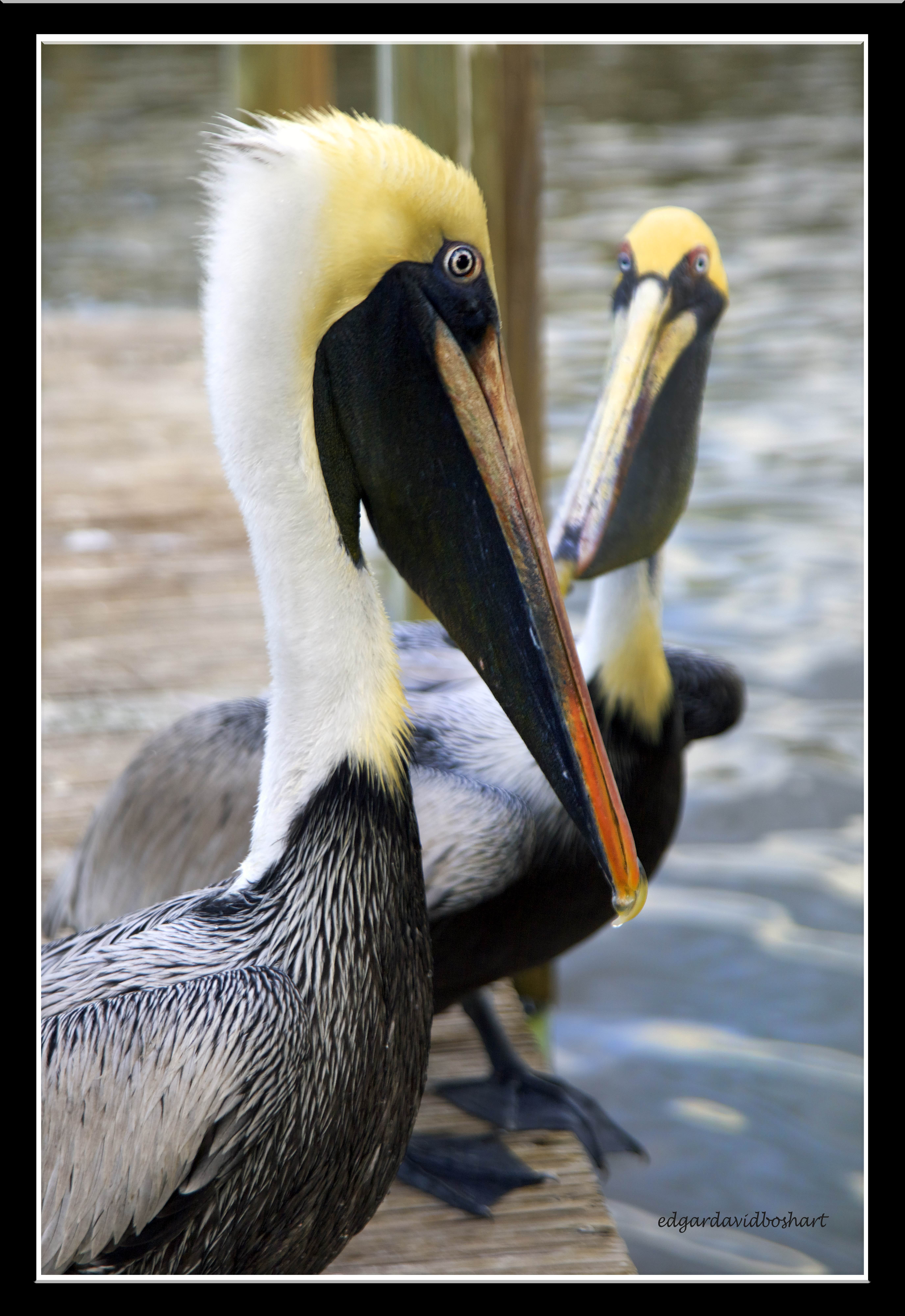 Pelican Talk
