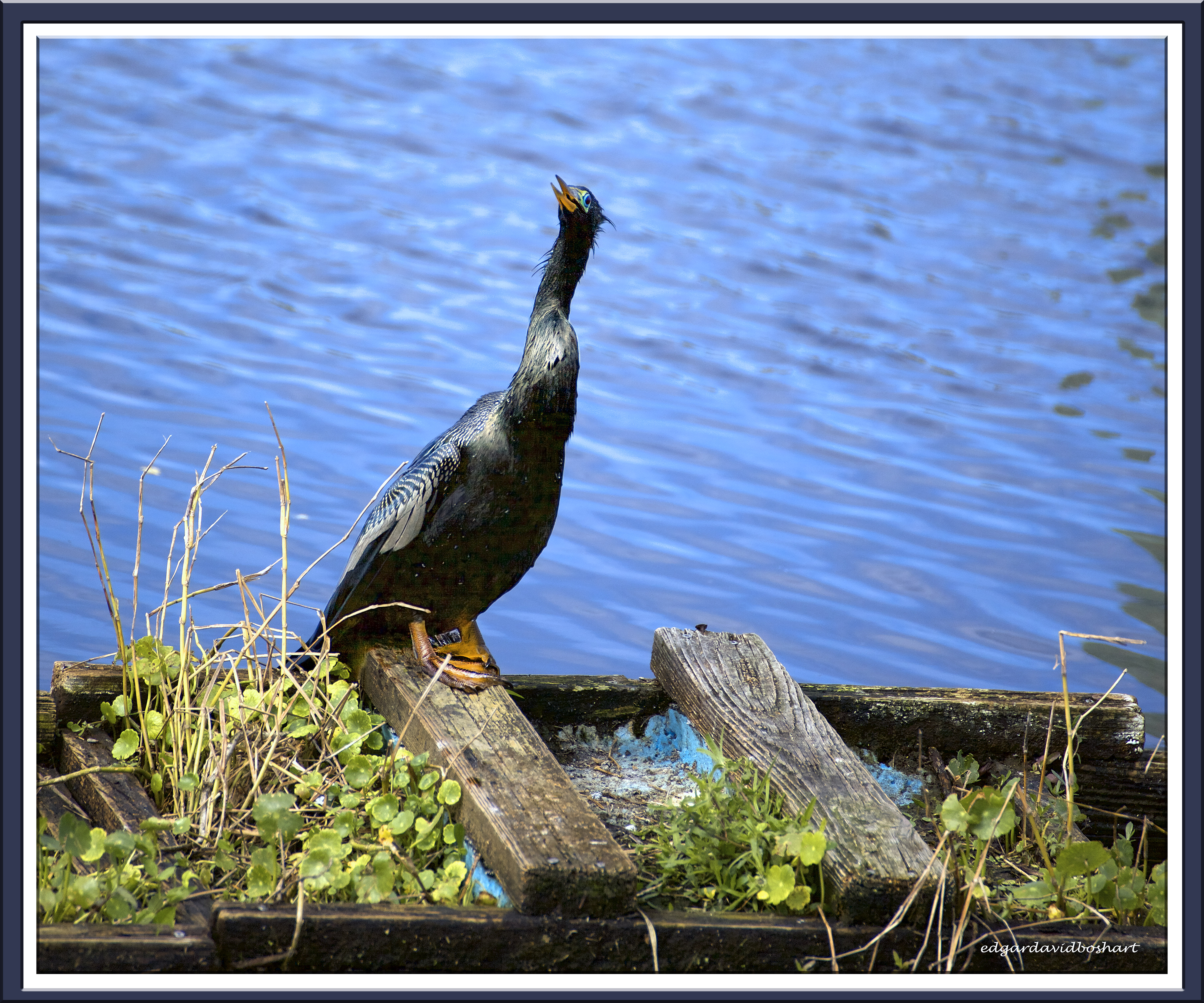 Young Cormorant 2