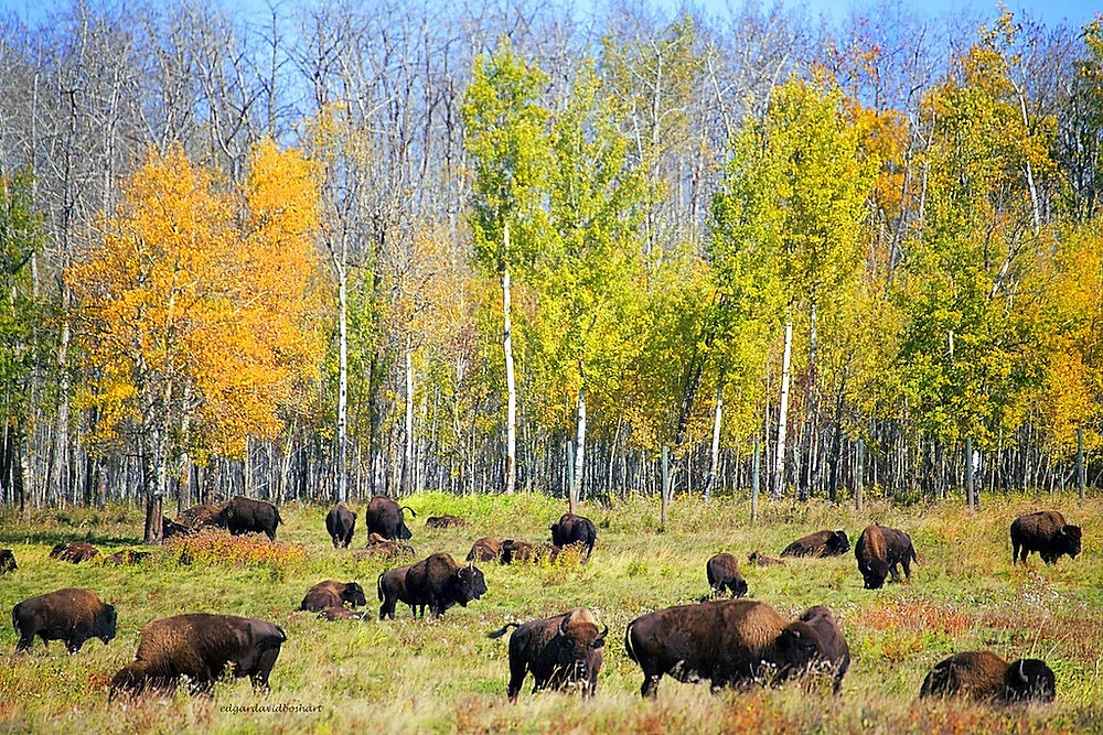 Bison imprisoned necessarily at Elk Island National Park