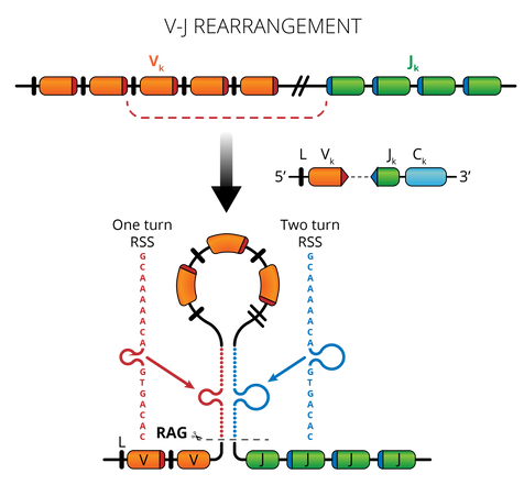 09.29_MICR 380 Mod 3_VJ Rearrangement.pn