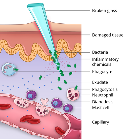 08.22_MICR 271_Inflammatory Response(lab