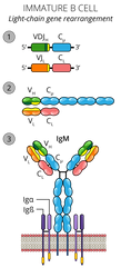 09.29_MICR 380 Mod 3_Immature B Cell.png