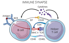 09.07_MICR 270_Immune Synapse.png