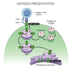 09.07_MICR 270_Antigen Presentation.png