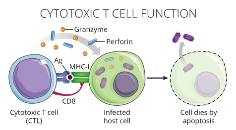 08.22_MICR 271_Cytotoxic T Cell Function