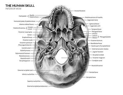 Carbon-Dust-Skull-Anatomy.png