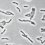 lactobacillus.jpg