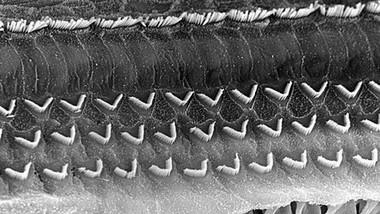 arrangement-des-cellules-ciliees-a-la-ba