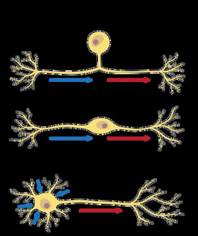 16.07.18_ANAT100_M5-NeuronTypes.png