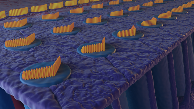 Hair Cells0060.png