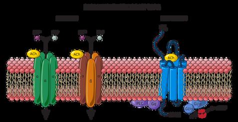 17.05.2018_PHAR270-PNS-Receptors.png