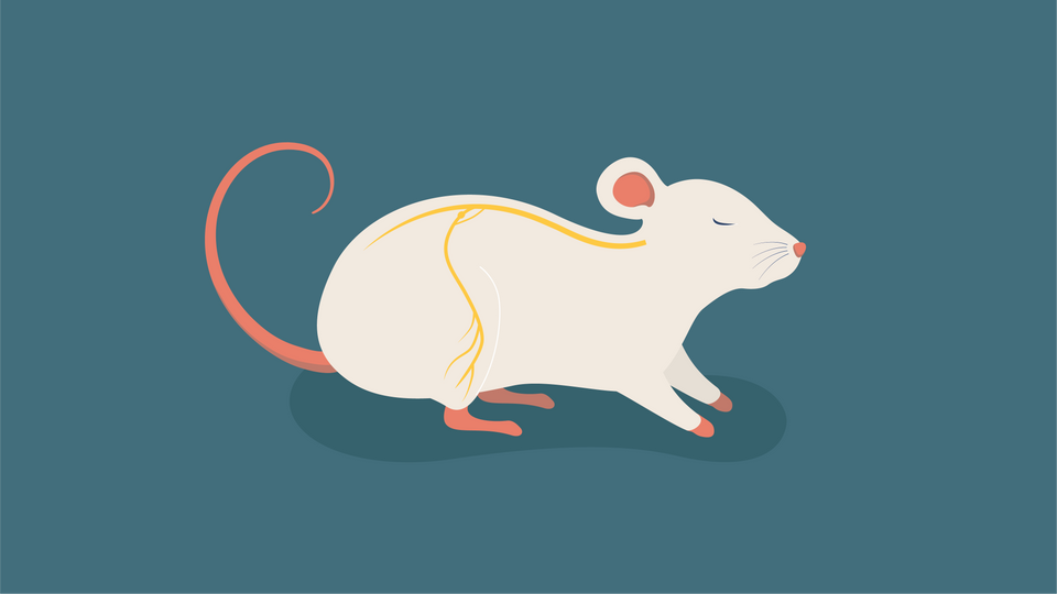 rat(with nerves)-01.png