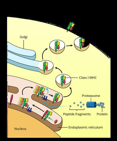 28.03.18_MICR380_M4_Cytosolic Pathway-Fu