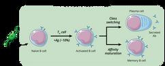 09.29_MICR 380 Mod 3_Antigen Dependent P