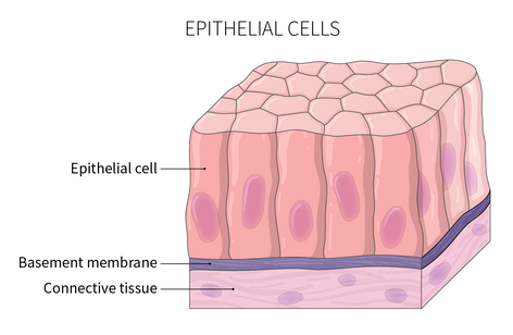 22.06.18_ANAT100_M1_Epithelial Cells.png
