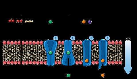 06.28_PHGY215 Mod 1 Slide 44-46_Membrane
