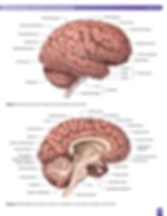 cerebrum-cerebellum-brain-anatomy.png