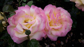 The Art of Pruning Roses