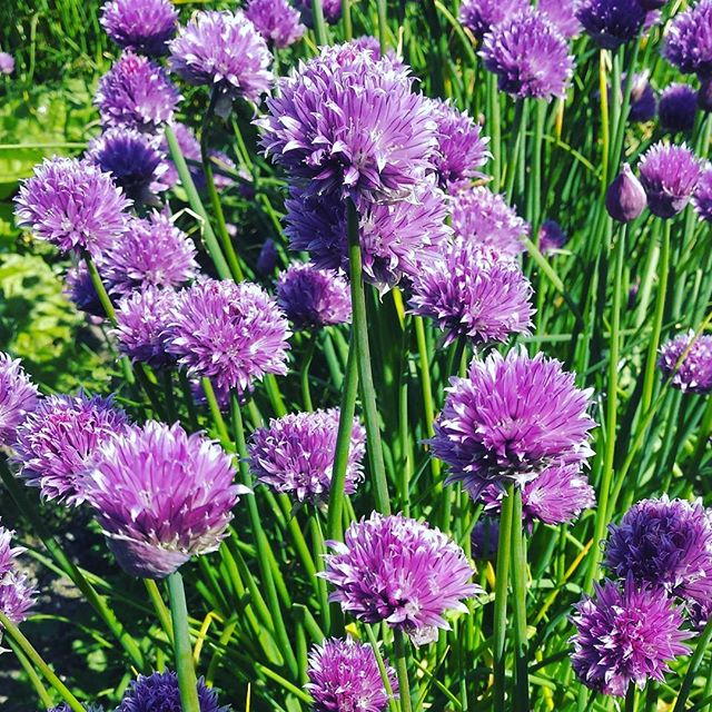 Chives doing their thing