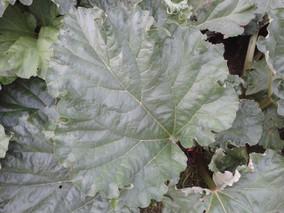 Rhubarb, the true jewel of summer