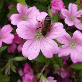 Posies for Pollinators