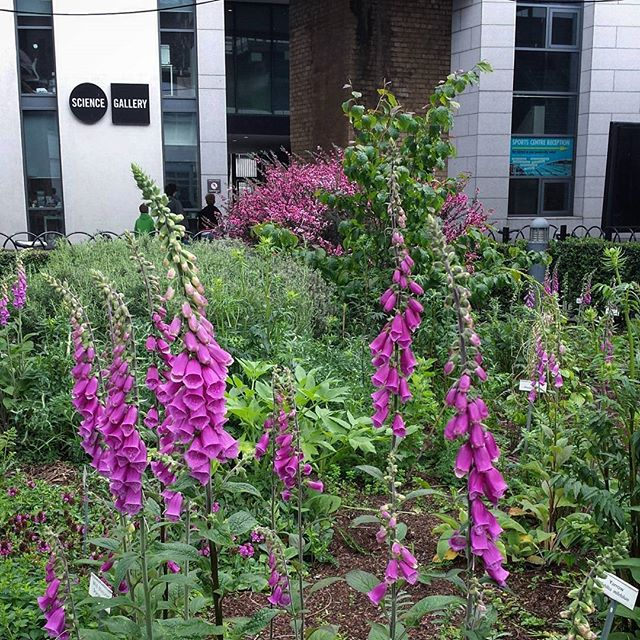 Foxgloves in the Physic Garden