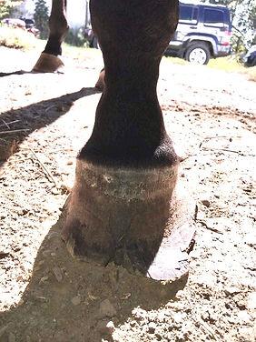 cracked hoof wall left front hoof