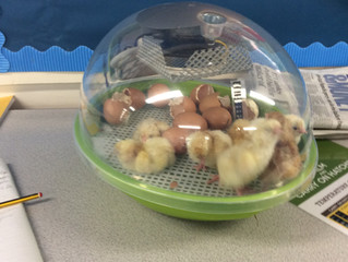 The Chicks are back in Year 5!