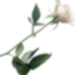 White-Rose-PNG-Image-with-Transparent-Ba