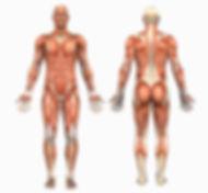 Anatomy-Male-Muscles-411004.jpg