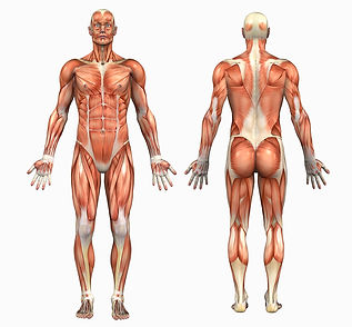 Anatomy-Male-Muscles-411004.jpg
