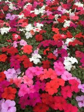 "Impatiens Annual 4"" Pot or 4-Pack -Shade"