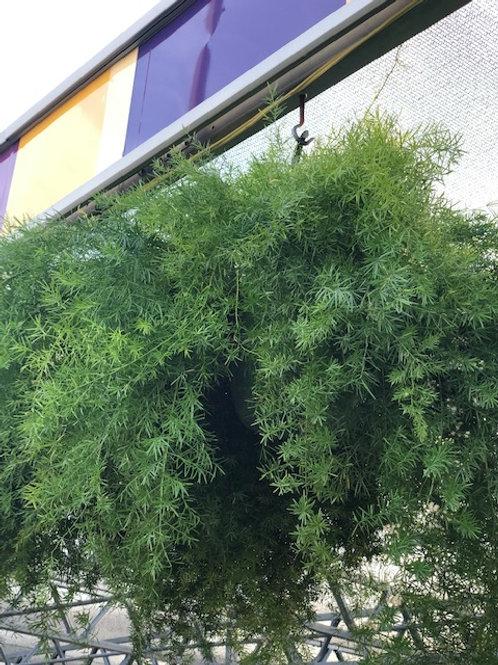 "Asparagus' Fern 10-11"" Hanging Basket Premium"