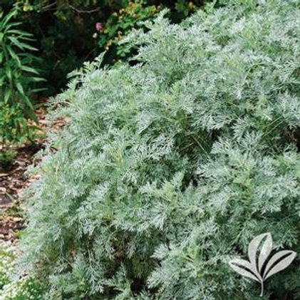 "Artemisia  4.5"" PA"
