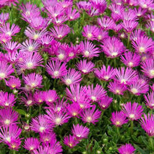 "Ice Plant 10""/11"" Hanging Basket"