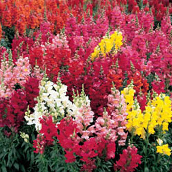 "Snapdragon- 4"" Bedding Plant Tray-Sun"