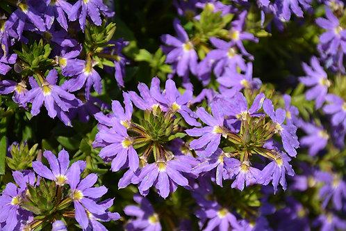 """Scaevola/ Fan Flower 4.5"""" QT PA"""