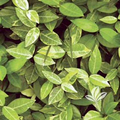 "Asian Jasmine 4.5"" QT Perennial Ground Cover"