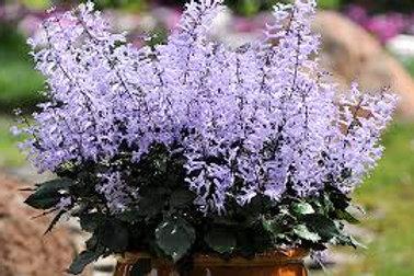 "Plectranthus~Mona Lavender 6.5"""