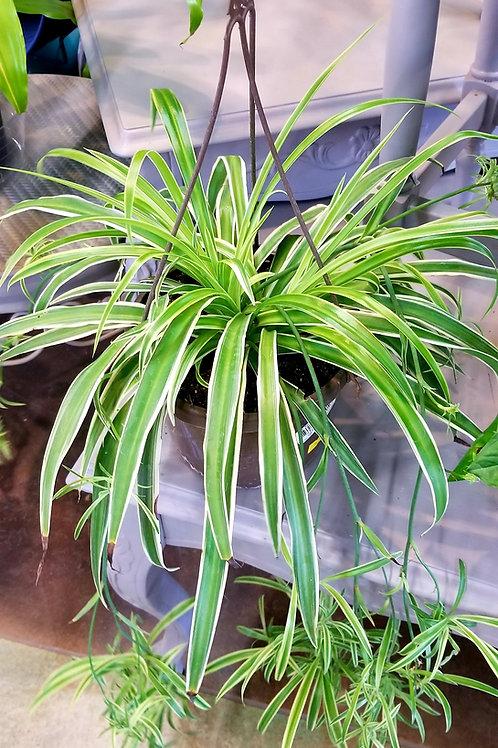 "Spider Plant HB 8"""