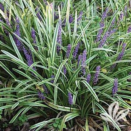 Liriope Assorted Grasses-Perennial 1 Gallon