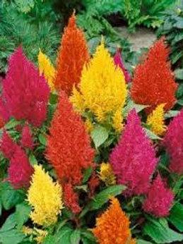 Celosia Annual Bedding Plant Tray-Sun