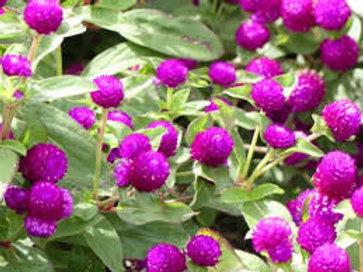 "Gomphrena Annual Bedding Plant Tray for SUN- 18-4"" plants per tray"