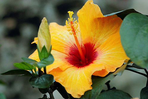 "Tropical Hibiscus 10"" Premium Asst Colors"