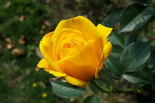 Roses 3Gal/DP