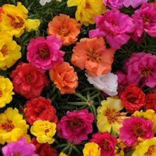 Portulaca Annual Bedding Plant Tray for Sun