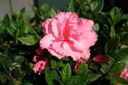 Azalea ReBLOOM Flowering Shrub- 3 Gallon