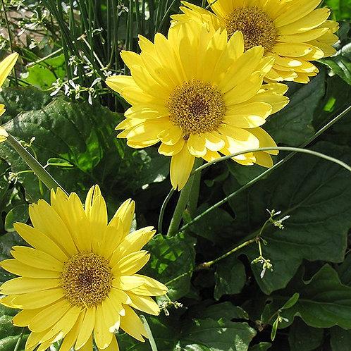 """Gerber Daisy Patio Pot 10"""" -Sun"""