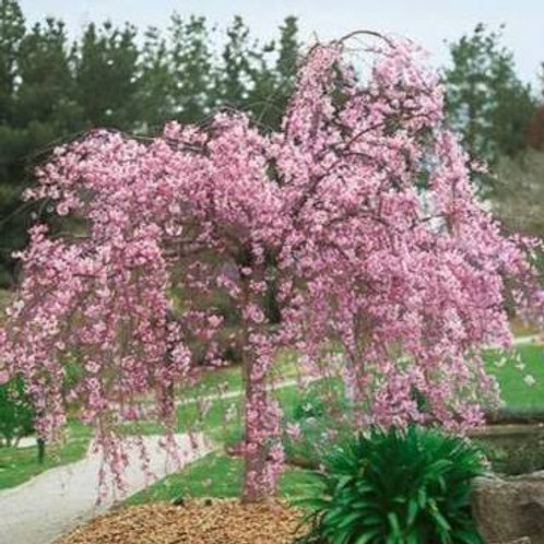 Double Weeping Cherry 10 Gal